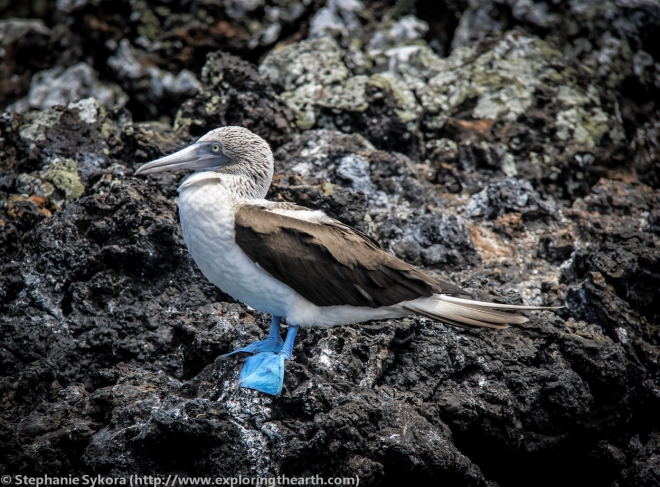 Galapagos, Islands, Galapagos Islands, Ecuador, South America, Darwin, Evolution, Travel, Adventure, Blue Footed Boobie, Blue-Footed Boobie, Tourism, Isabela