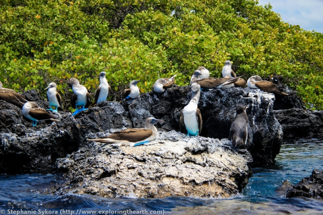 Galapagos, Islands, Galapagos Islands, Ecuador, South America, Darwin, Evolution, Travel, Adventure, Blue Footed Boobie, Blue-Footed Boobie, Tourism, Isabela, Penguin