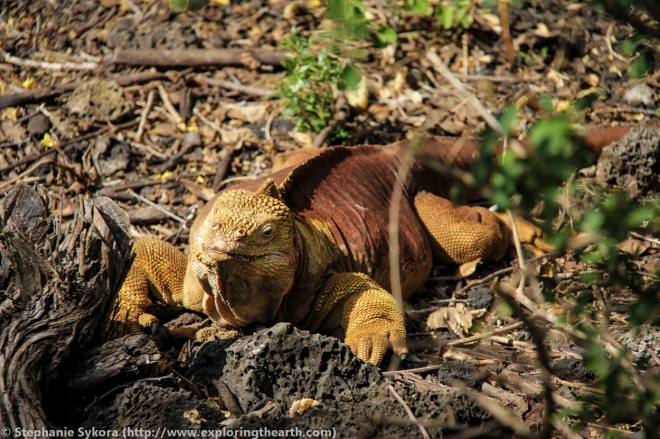 Galapagos, Islands, Galapagos Islands, Ecuador, South America, Darwin, Evolution, Travel, Adventure, Tourism, Isabela, Iguana, Santa Cruz, Land Iguana