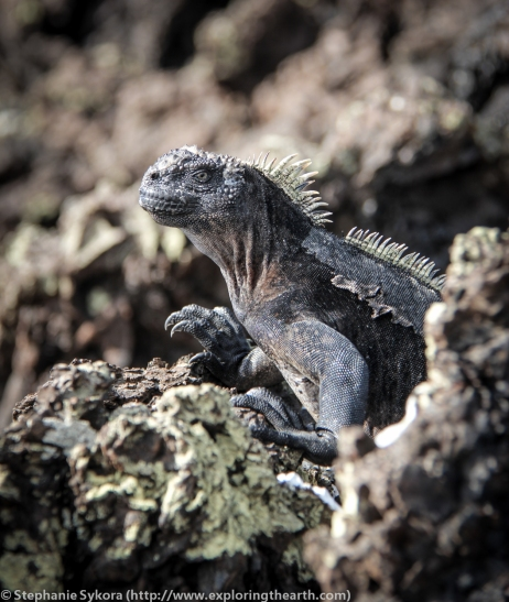 Galapagos, Islands, Galapagos Islands, Ecuador, South America, Endemic, Darwin, Evolution, Travel, Adventure, Tourism, Isabela, Iguana, Santa Cruz, Marine Iguana