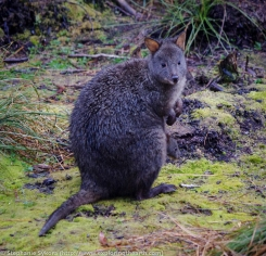 Frenchman's Cap in the Franklin-Gordon Wild Rivers National Park - Tasmania, animals, wildlife, Australia, Wallaby, Pademelon, Kangaroo, wallabie, versus