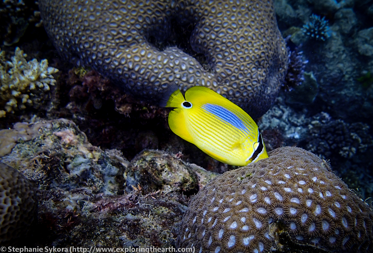 the butterfly fish as the indicator of coral reef health Butterflyfish, indicators of healthy coral communities, are hard to find in aitutaki, cook islands on the living oceans foundation global reef.